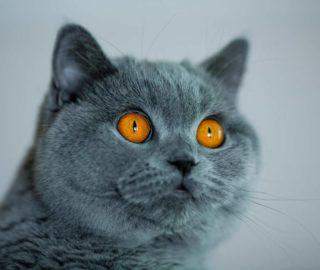 Hodowla i sprzedaż kotów brytyjskich   Kocięta, koty