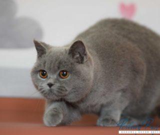 Unikalne Hodowla i sprzedaż kotów brytyjskich | Kocięta, koty brytyjskie GE73